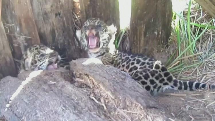 Operation Population! Argentinian Park Hopes To Increase Jaguar Population in Area!