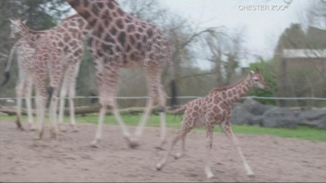 UK Zoo's Endangered Baby Giraffe Runs & Plays in Enclosure!