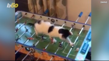 Kitten Caught on Camera Playing Foosball