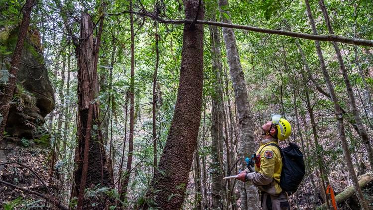 Australia Dinosaur Trees firefighter AP
