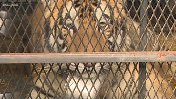 'I'm not lying about this, I swear' | 311 audio released of woman who found tiger in Texas home