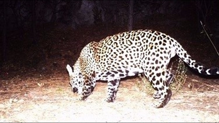 One of the last known wild jaguars roaming the US killed, officials say