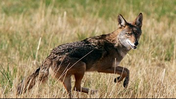 Coyote sneaks in through doggie door and attacks 2 dogs, killing 1