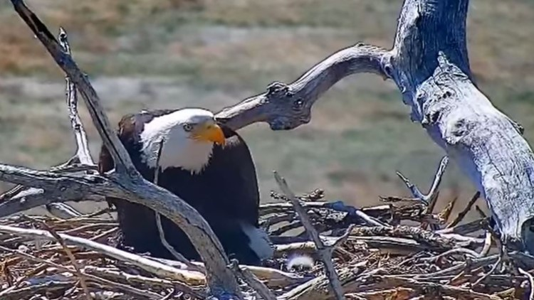 Nest-wrecking Colorado eagle now a mother (and the father is the man she stole)
