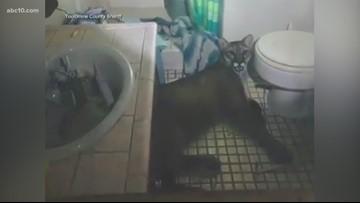 Mountain lion wanders into California house, lies down in bathroom