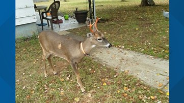 Woman seriously injured in deer attack, neighbor says deer was gentle and calls victim a liar