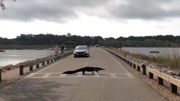 Alligator uses crosswalk at SC state park