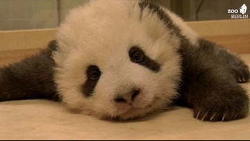 Adorable Panda twin at the Berlin Zoo with hiccups is all you need to see