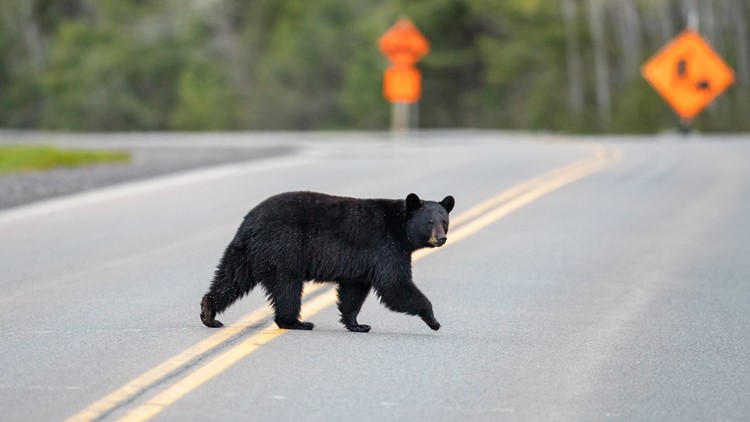 Video shows black bear barrel after mountain biker in Montana