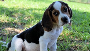 Pup goes from stray to star: Beagle found wandering on busy NC road makes Puppy Bowl XV lineup