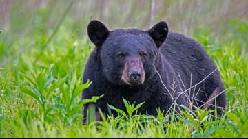 Bear bites man, both roll off cliff: NC wildlife