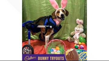 2-legged Ohio dog wins contest to become next Cadbury Bunny