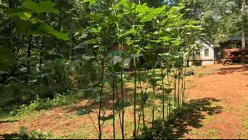 Monroe County couple grows 10-foot-tall okra plant