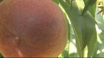 Georgia farmers looking at one of the best peach crops in years