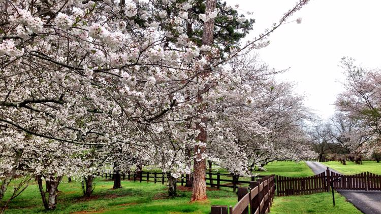 Fickling family adds new cherry blossom trees to their farm for this spring