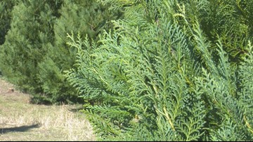 VERIFY:  Can Christmas trees trigger allergies?