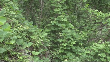 'The best defense is consistency:' Here's how to deal with that pesky Kudzu plant