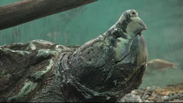 'Bonecrusher' the alligator snapping turtle celebrates 100th birthday