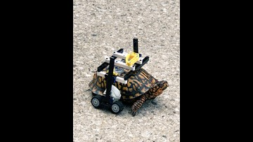 Injured turtle at gets customized wheelchair made of Legos