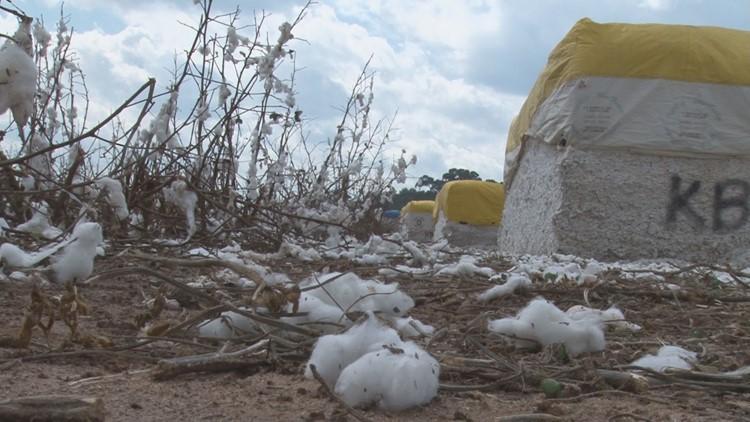 cotton_1539647158758.jpg