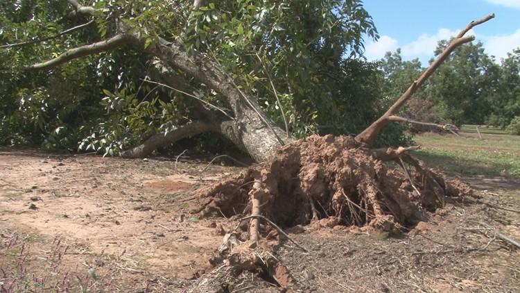 pecan tree_1539647158911.jpg.jpg