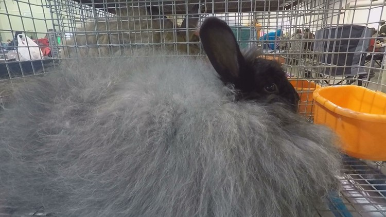 Rabbit show brings in over 800 rabbit competitors