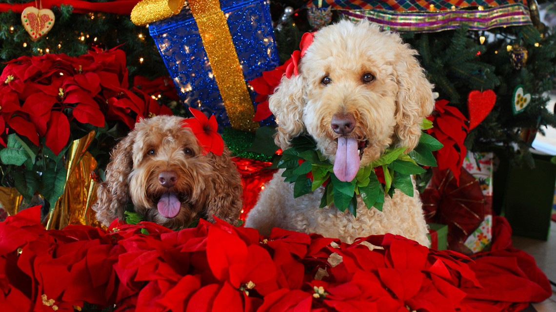 Verify: Are poinsettias deadly to pets?