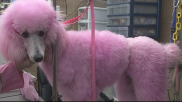 Cherry Blossom Festival's pink poodles get pampered