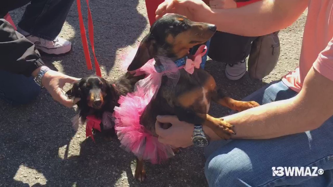 Wiener dogs race to the finish line at Cherry Blossom Festival