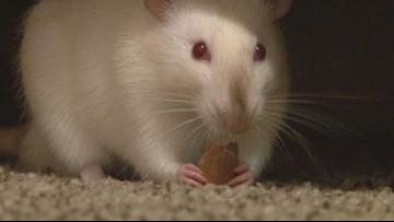 Maddie's Ratties: Georgia College senior sells rats as pets