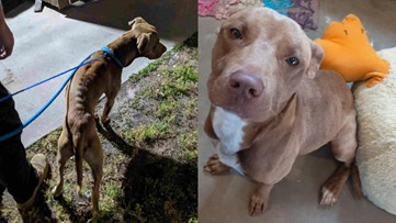 Dog stolen from Macon-Bibb Animal Welfare recovering after being found in Florida