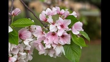 Cherry Blossom Festival moves to online events amid coronavirus crisis