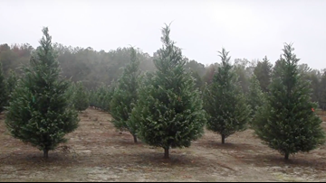 Just Curious: What is the best way to keep your Christmas tree alive all season?