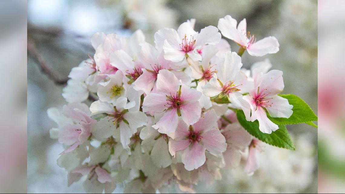 Photos: Cherry blossoms 2020
