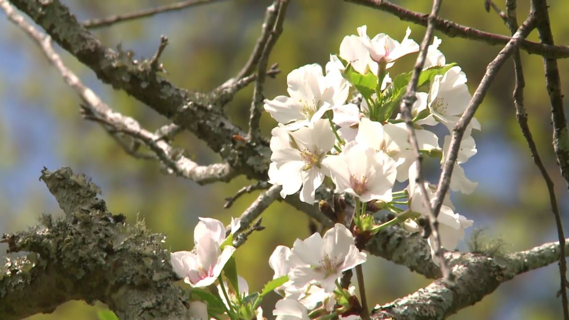 Just Curious: Is Macon actually the 'cherry blossom capital of the world?'