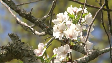Just Curious: Is Macon the cherry blossom capital of the world?