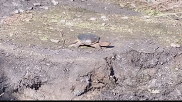 Macon man concerned construction will harm turtle