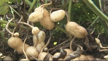 Macon County farmer wins top peanut prize