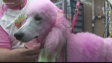 Cherry Blossom Festival's pink poodles get pampered