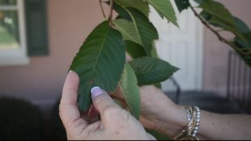 Just Curious: How do Macon's cherry blossom trees grow?
