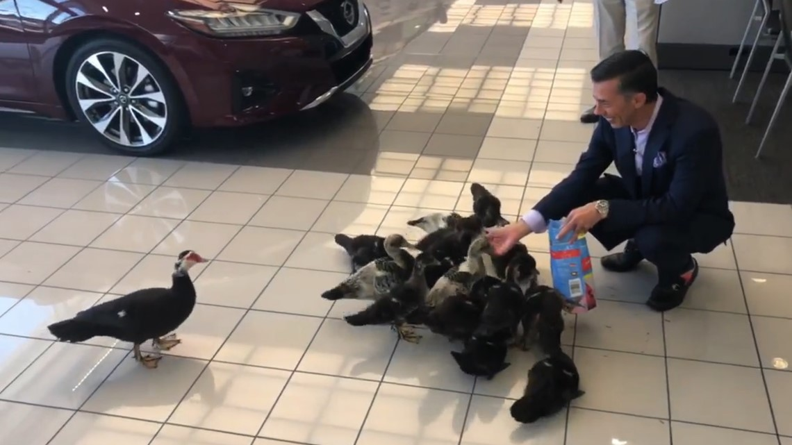 This family of 16 ducks lives at a car dealership in Orlando