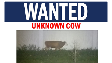 Mystery cow on the run for weeks in south Florida
