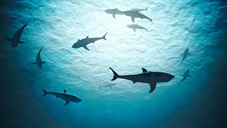 Researchers find 3,541-pound great white shark off the coast of Nova Scotia