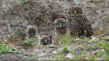 These rare burrowing owls are thriving in a ghost town near Los Angeles