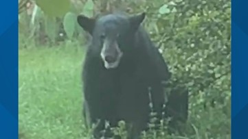 Doughnuts used to entice, trap bear found wandering Fort Myers neighborhood