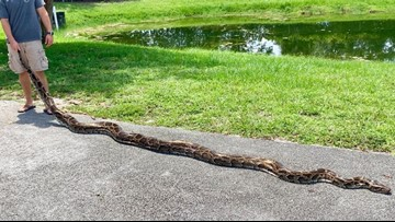 Florida is hiring twice as many python hunters to get rid of the invasive snakes