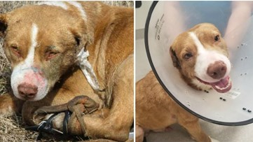 Arrest made after dog shot with BB gun, has glue poured in its ears, rescue says