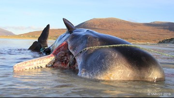 220 pounds of garbage found inside stranded sperm whale