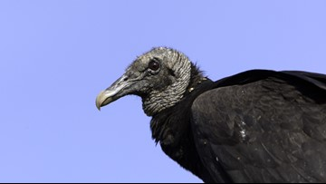 Hundreds of vultures invade Florida neighborhood, but HOA says it won't do anything