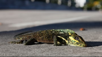 It's so cold in Florida that iguanas are falling from trees